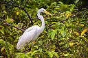 Great Egret modified by Marilynne in Wildlife