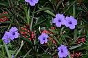 Katie Ruellia (Mexican Petunia) and Ixora by Marilynne in Plants