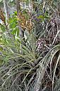 Dying and Dead Air Plant Flowers by Marilynne in Plants