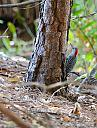 Red Chested Woodpecker by Marilynne