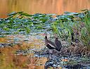 Sunrise and Whistling Ducks by Marilynne in Wildlife