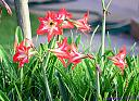 Amaryllis by Marilynne in Plants