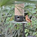 Female Painted Bunting and Female Cardinal by Marilynne in Wildlife