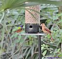 Male Painted Bunting andFemale Cardinal by Marilynne in Wildlife