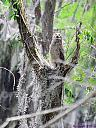 Great Horned Owlet by Marilynne