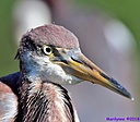 TriColored Heron by Marilynne in Wildlife