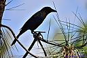 Boat Tail Grackle by Marilynne in Wildlife