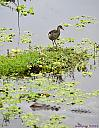 Gator and Juvenile Common Moorhen by Marilynne