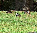 Black Bellied Whistling Duck White Faced Whistling Duck by Marilynne in Wildlife