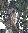 Great Horned Owl by Marilynne in Wildlife