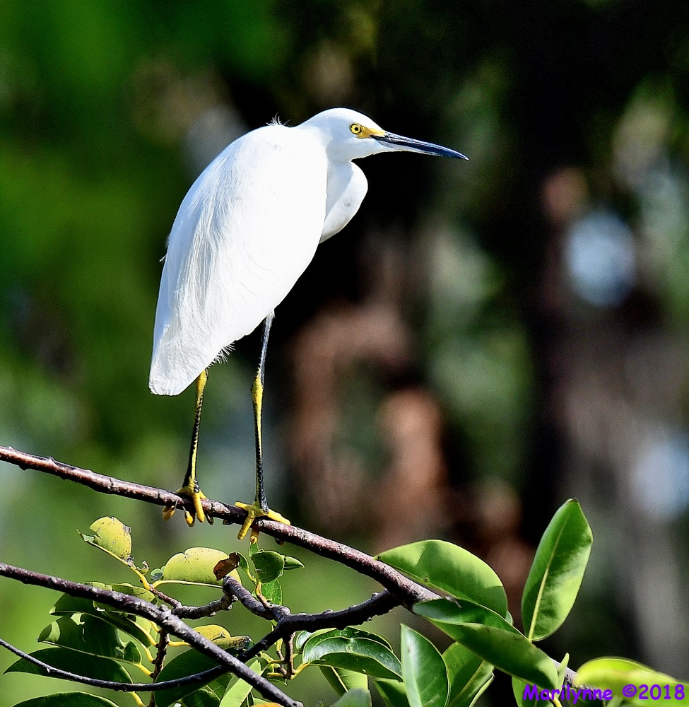 Snowy Egret by Marilynne in Wildlife