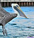 Pelican by Marilynne in Wildlife