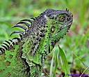 Iguana by Marilynne in Critters