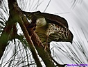 Cooper's Hawk by Marilynne in Wildlife