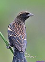 Immature Red Winged Blackbird by Marilynne
