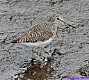 Solitary Sandpiper by Marilynne