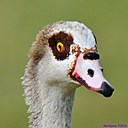 Egyptian Goose by Marilynne