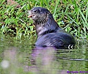 River Otter by Marilynne