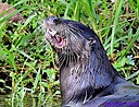 River Otter by Marilynne in Wildlife