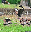 Black Bellied Whistling Duck by Marilynne in Almost
