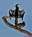 Anhinga Wood Duck by Marilynne