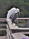 Great Egret TriColored Heron by Marilynne