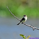 Eastern Phoebe by Marilynne in Wildlife
