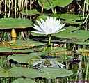 White Water Lily by Marilynne in Plants