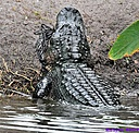Gator by Marilynne in Wildlife