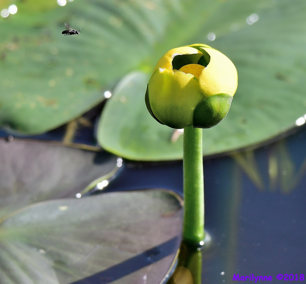 Spatterdock Flower Bug by Marilynne in Plants