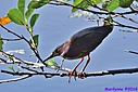 Green Heron by Marilynne in Wildlife