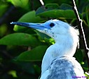 Immature Little Blue Heron by Marilynne in Wildlife