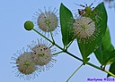 Buttonbush Flower by Marilynne in Plants