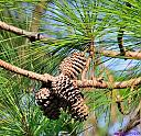 Pine Cones by Marilynne in Plants