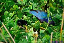 Juvenile Purple Gallinule by Marilynne in Wildlife