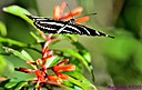 Zebra Longwing by Marilynne in Critters