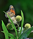 Monarch Butterfly Buttonbush by Marilynne