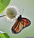 Monarch Butterfly Buttonbush by Marilynne in Critters