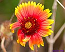 Indian Blanket by Marilynne in Plants