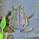 Frog by Marilynne in Critters