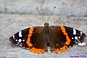 Red Admiral by Marilynne