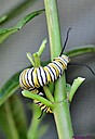 Monarch Butterfly Caterpiller by Marilynne in Critters