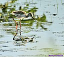 Juvenile Black Necked Stilt by Marilynne in Wildlife