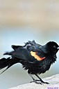 Male Red Winged Blackbird by Marilynne