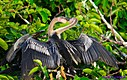 Juvenile Anhinga by Marilynne in Wildlife