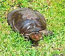 Soft Shelled Turtle by Marilynne in Wildlife