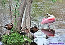 Roseate Spoonbill Black Bellied Whistling Ducks by Marilynne in Wildlife