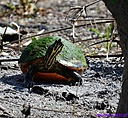 Turtle by Marilynne in Wildlife