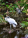 Wood Stork Great Blue Heron by Marilynne in Wildlife