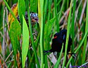 Juvenile Red Winged Blackbird and Pop by Marilynne in Wildlife